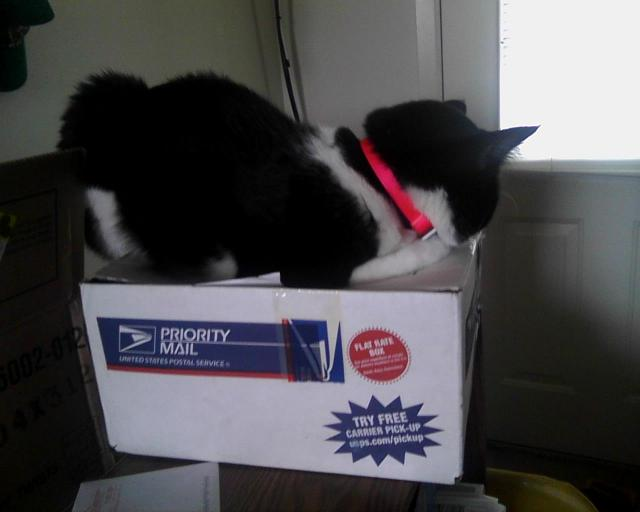 cat in Priority Mail box