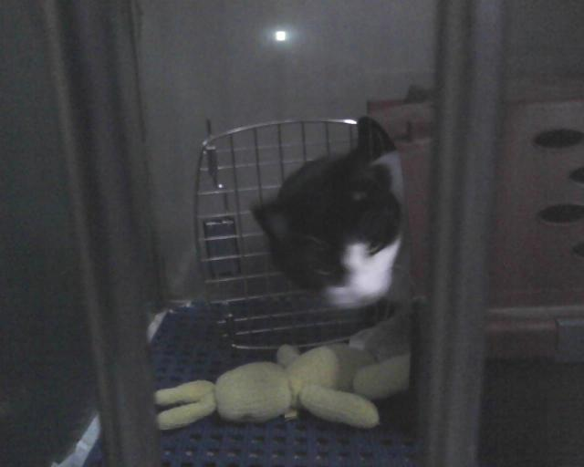 cat emerging from carrier in boarding cage
