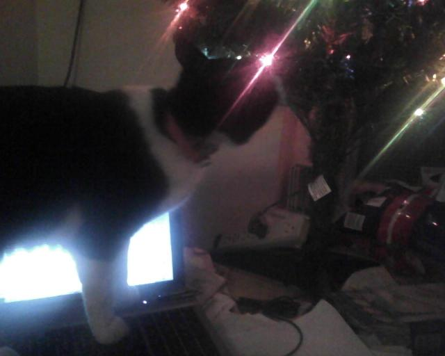 cat on laptop computer looking at Christmas tree