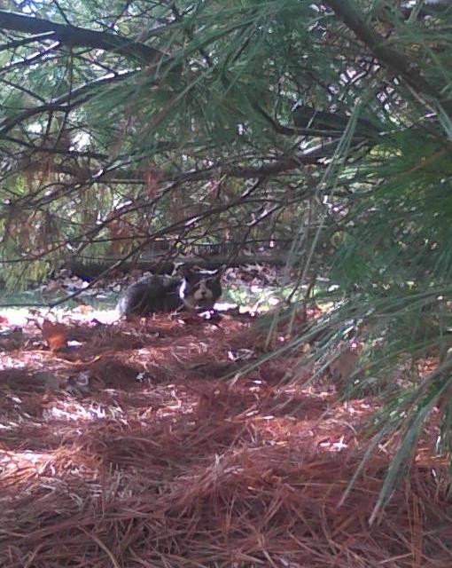 cat under pine tree