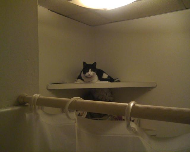 tuxedo cat sitting on shelf as seen from shower