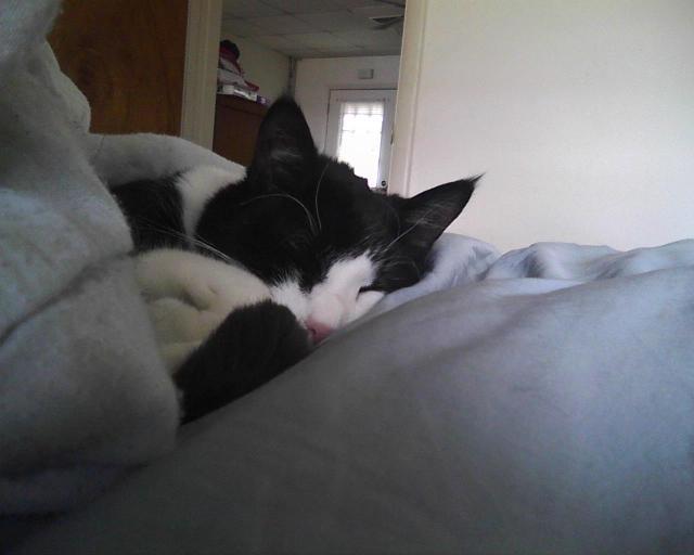 cat sleeping in comforter