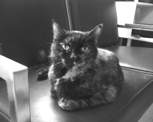 tortie cat in black and white