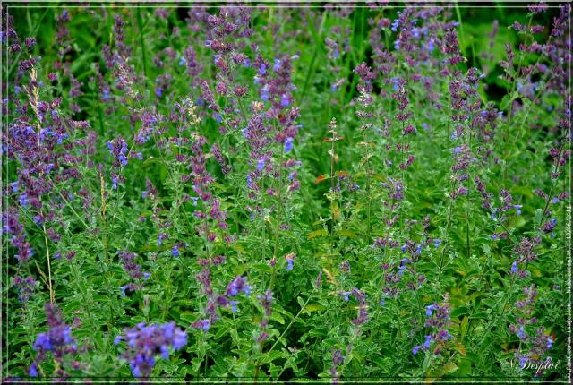 field of catnip
