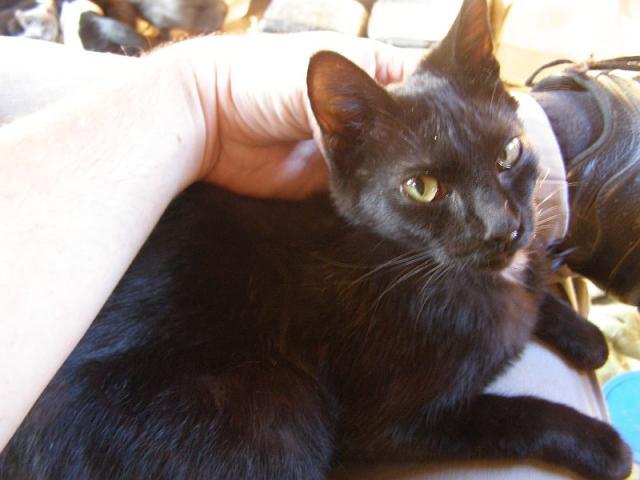 Inky black cat on lap