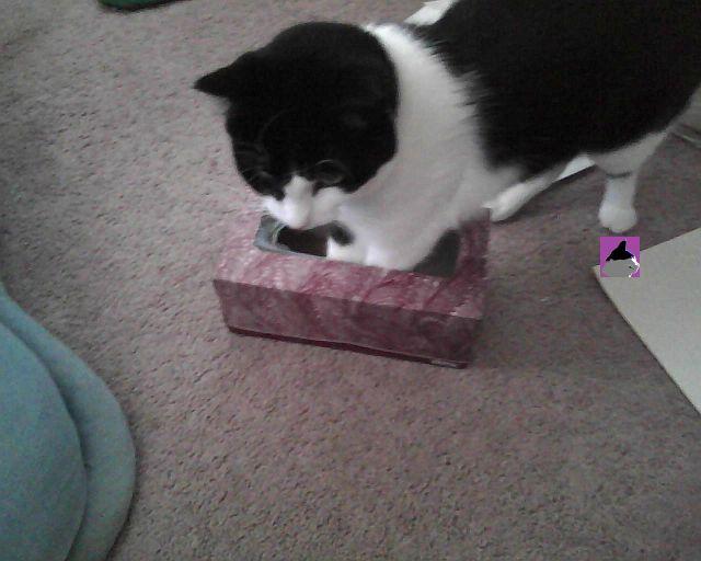 cat in Kleenex® box