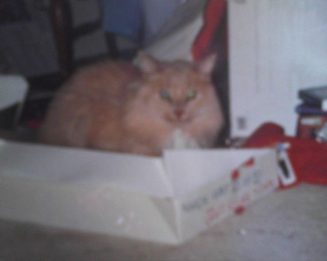 sandy cat in box