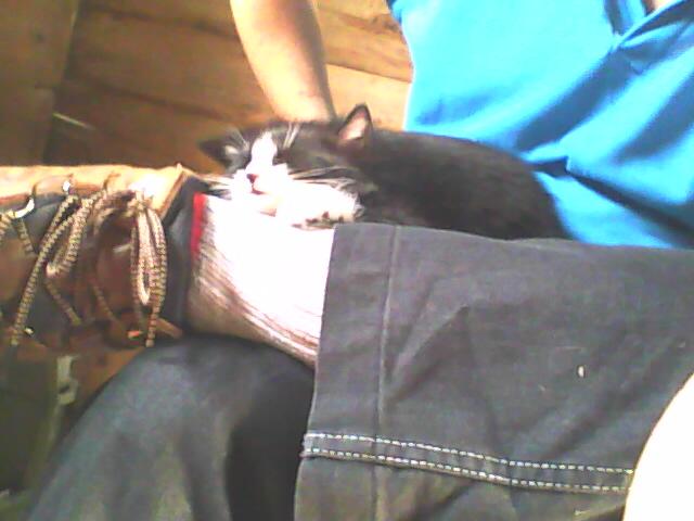 tuxedo kitten sleeping on a lap