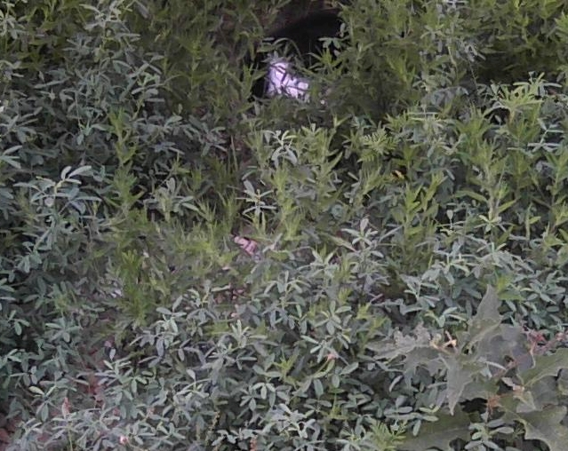 cat hiding in weeds