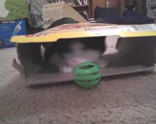 cat playing with ball and box