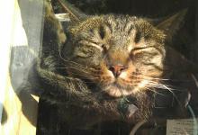 tabby cat sleeping in sun