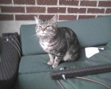stinky tabby cat