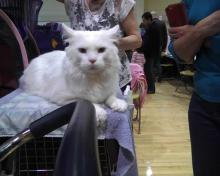 white cat waiting at cat show