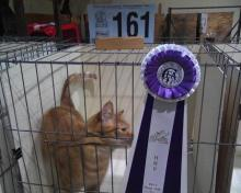 orange household cat with rosette