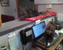 tortie cat on laptop computer with tabby looking on