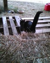 black cat walking away on farm