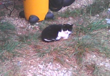 tuxedo cat on farm