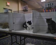 cats in cat show cages