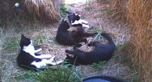 four cats in a hay pen