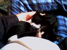 two tuxedo kittens sleeping on lap