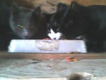 three cats eating