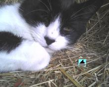 tuxedo cat sleeping on hay