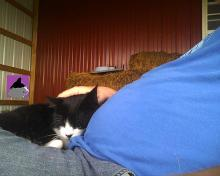 tuxedo cat sleeping on a lap