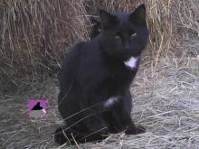 black cat among round hay bales