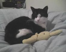 tuxedo cat with yellow toy bunny