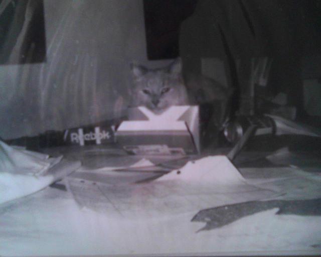 Sandy Cat in a shoebox