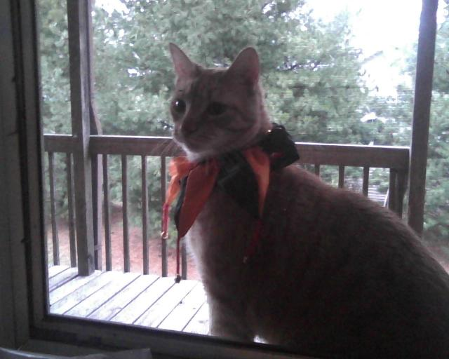 orange cat in fool's collar