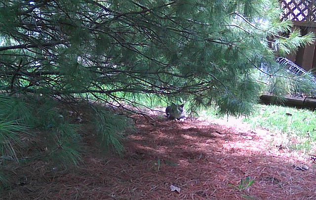 Cyril watches from under the pine tree