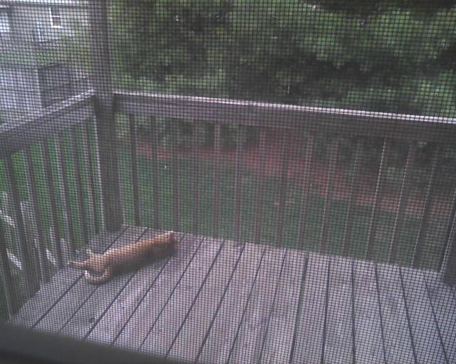 orange cat on balcony