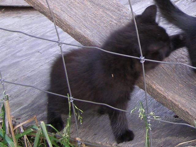Kiwi all black cat