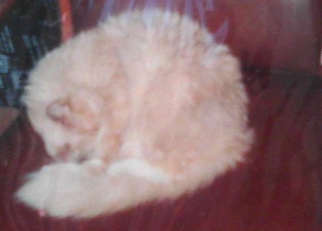 sandy cat sleeping on chair