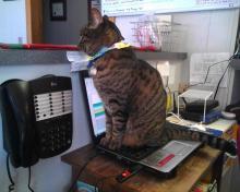 tabby cat sitting on laptop