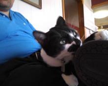 tuxedo cat on lap