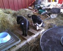 two farm cats waiting for dinner