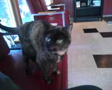 tortie cat at the vet's office
