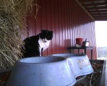 cat in a barn waiting for dinner