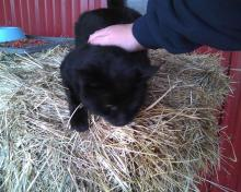 black cat getting petted on square hay bale