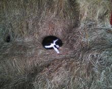 cat curled up on square hay bales