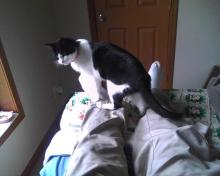 Cat sitting on human's legs on a bed