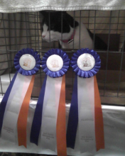 cat with three cat show ribbons