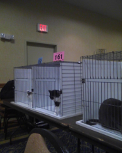 Parker in cat show ring 8