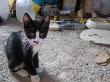 tuxedo kitten with long sleeves and black nose