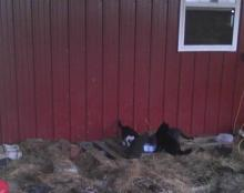 four farm cats at dinner
