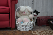 black and white cat with stuffed Easter Bunny