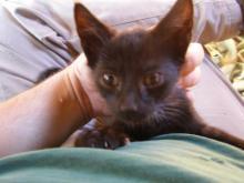 black kitten on lap