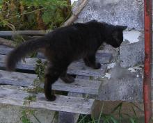 Mama Kitty black cat